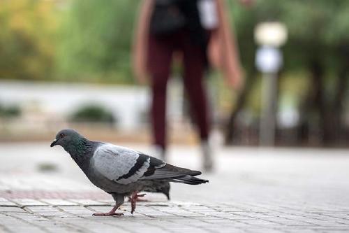 Salut Pública captura més de 200 coloms en la darrera campanya de control d'aquestes aus
