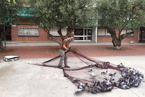 Salut Pública captura més d'un centenar de coloms al barri de Can Folguera