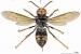 La vespa asiàtica arriba a Santa Perpètua